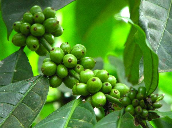 naturalna zielona kawa