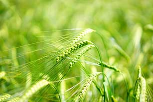 az zielony jęczmień opinie